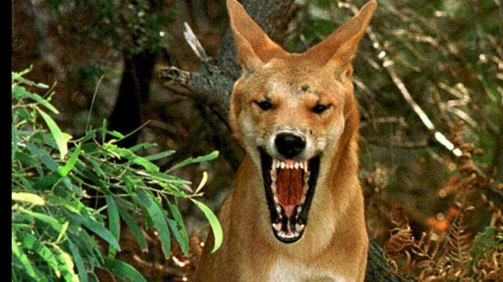 Un copil aflat în camping cu familia, în Australia, salvat de tatăl său din gura unui dingo