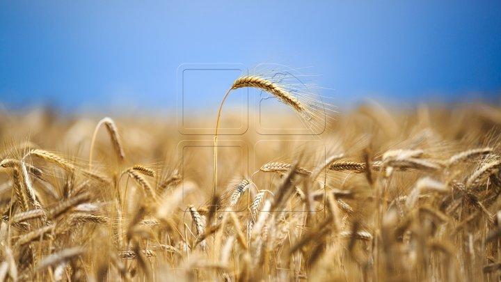 Anul acesta va fi a doua mare recoltă de grâu moale din istoria Franței