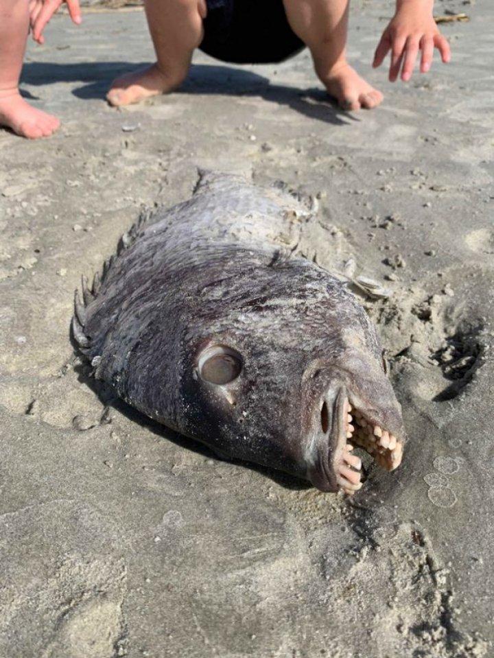 O creatură cu dinți de om, găsită pe malul mării (FOTO)