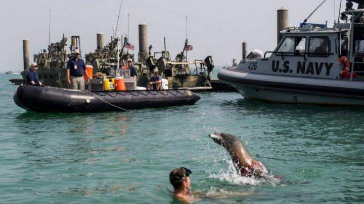 Delfini și lei de mare, antrenați într-o bază militară din SUA pentru operațiuni de spionaj și salvare