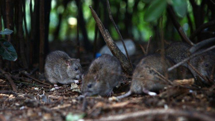 Fără insecte şi şobolani. Primăria Chişinău începe lucrările de deratizare şi dezinsecţie a blocurilor din Capitală