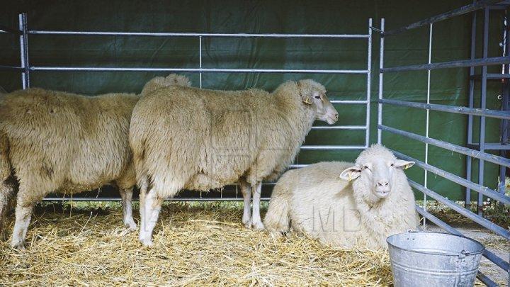 Belarusul a restricţionat importul de păsări, capre şi oi din unele regiuni ale Rusiei