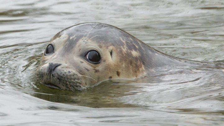 Zeci de foci dintr-o specie rară au fost eliberate în mare în nord-estul Chinei
