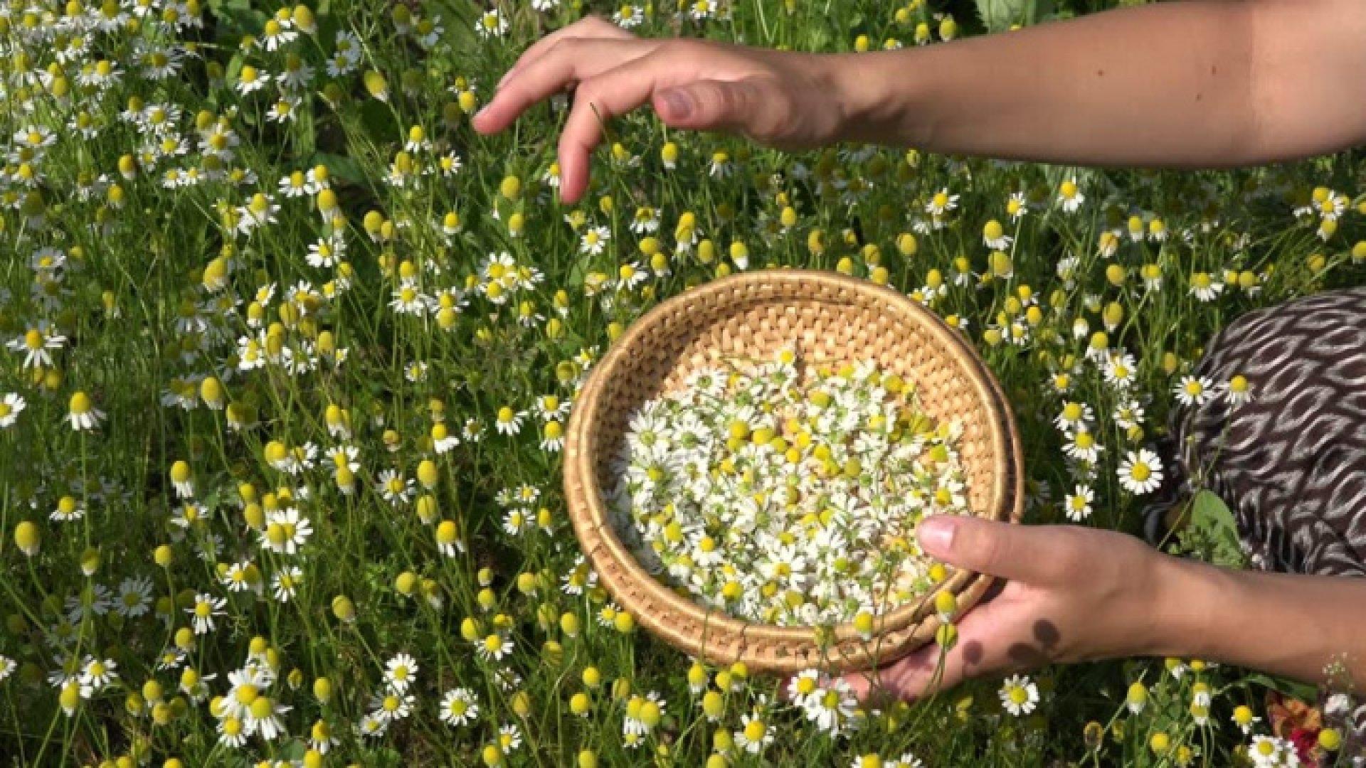 Plante Medicinale - Top 50 De Plante Care Se Găsesc în România   Libertatea