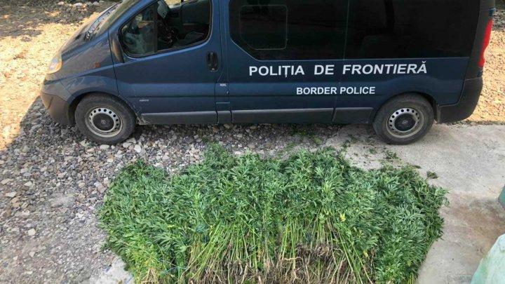 Un lan de cânepă de 70 de metri pătraţi a fost descoperit la Soroca (FOTO)