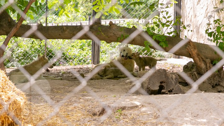 Mănâncă fructe îngheţate şi fac duş. Animalele de la ZOO din Chişinău, afectate de CANICULĂ (FOTO/VIDEO)