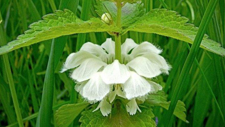 Bine de știut! Planta care vindecă AFECȚIUNILE genitale. Efectele sale sunt MIRACULOASE