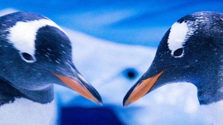 INCREDIBIL. Doi pinguini de acelaşi sex au devenit părinţii unui pui care a eclozat la Sea Life London