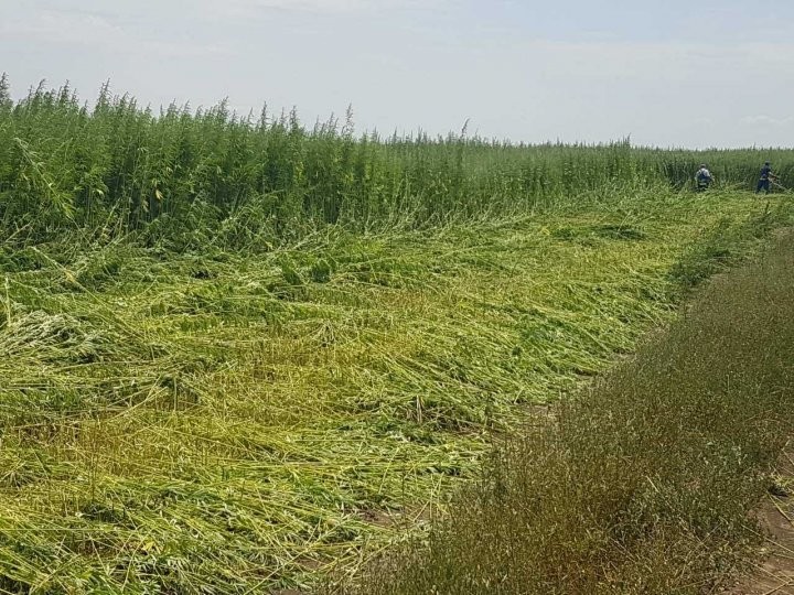 Un lan acoperit cu cânepă, depistat în zona de frontieră (FOTO)