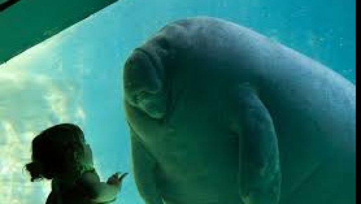 Un pui de dugong a devenit star pe reţelele de socializare din Thailanda