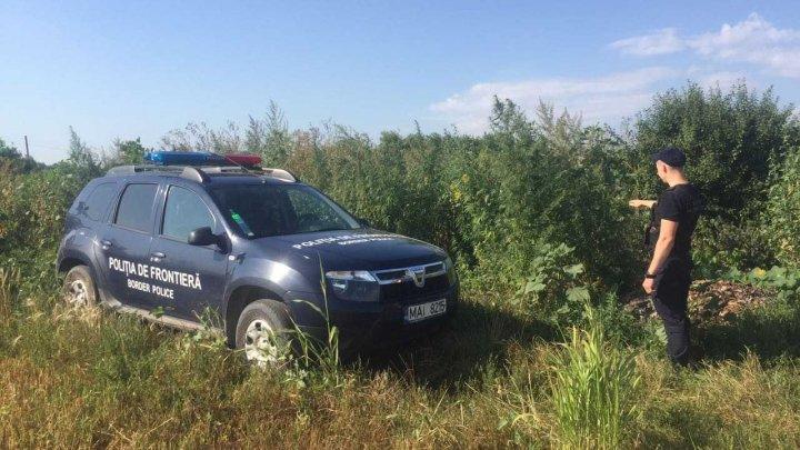 Plante de cânepă verde și uscată, depistate de polițiștii de frontieră