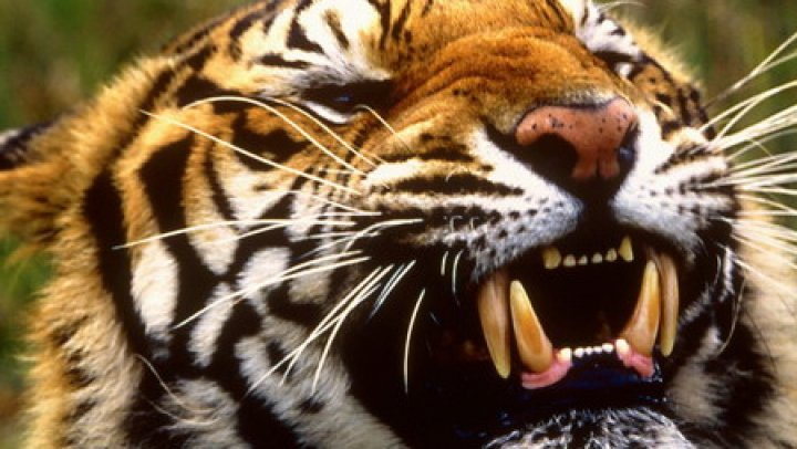 ŞOCANT! Un dresor a fost ucis de tigri într-un circ din Italia