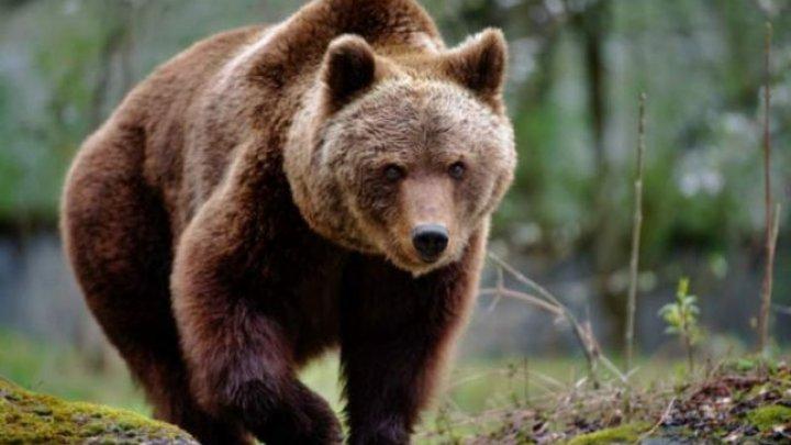 Încă un român a fost atacat de urs. Este al doilea caz petrecut în judeţul Harhita, timp de trei zile