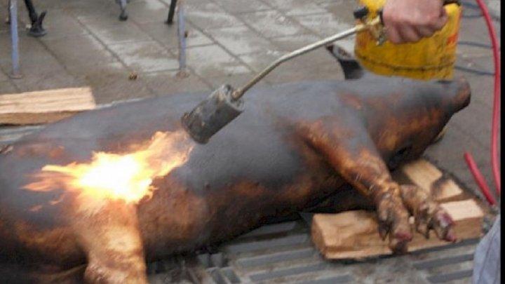 Un bărbat din Drochia a vrut să pârlească porcul, dar s-a ales cu arsuri de gradul I