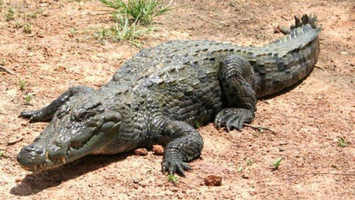 Crocodilul lui Fidel Castro a atacat un bătrân de 75 de ani, la o petrecere desfăşurată în Suedia