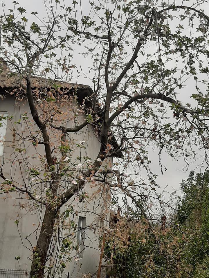 Fenomen rar în Moldova. Vișinii au înflorit la Drochia, iar merii la Bălți (FOTO)
