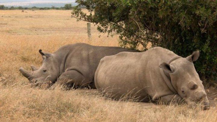 Ultimii doi rinoceri albi nordici rămaşi în lume. Cum încearcă cercetătorii să salveze specia de la dispariţie