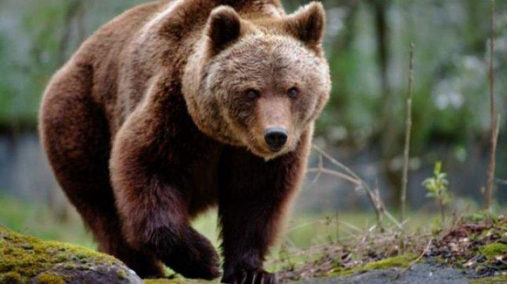 Caz şocant în România! Doi copii și un bărbat, atacați de un urs
