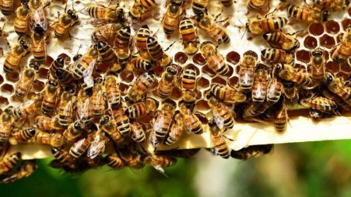Câțiva apicultori au rămas peste noapte fără albine și cu pierderi de 100 de mii de lei. Pomicultorul, care s-ar face vinovat, amendat cu 900 de lei
