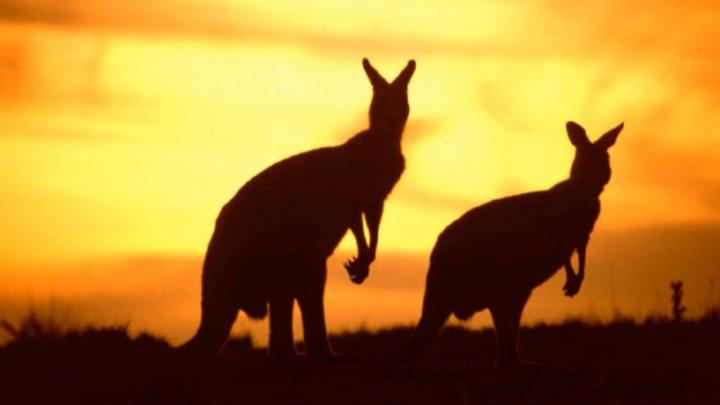 Motivul uimitor pentru care vor fi împușcați cangurii din Australia