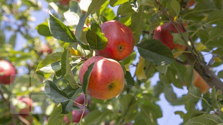 Forfotă mare prin livezile Moldovei. Fermierii termină recoltarea merelor în cel mult două săptămâni (FOTOREPORT)
