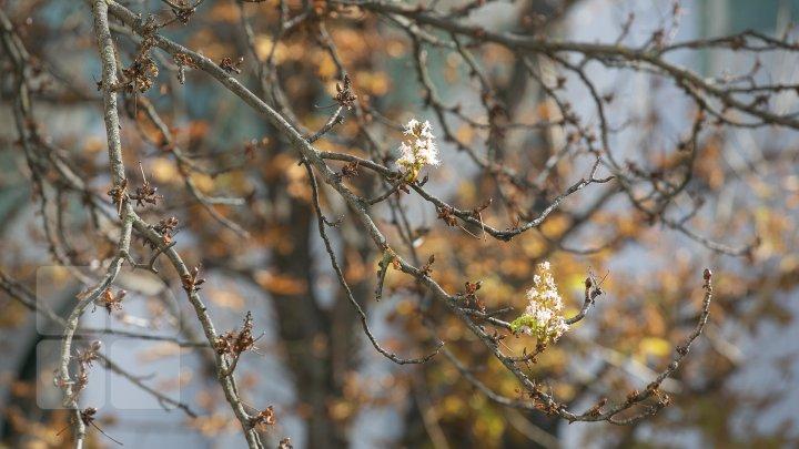 Fenomen inedit în Moldova. La mijloc de octombrie, au înflorit castanii, macii şi liliacul (FOTO)