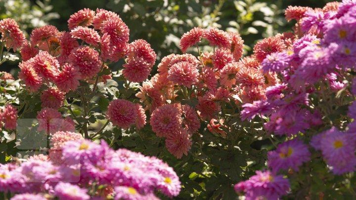 Paradisul crizantemelor la Grădina Botanică. Vizitatorii pot admira şi procura peste 100 de soiuri de flori (FOTOREPORT)
