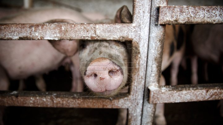 Dezastru la o fermă din Slobozia. Peste 20.000 de porci trebuie să fie uciși din cauza pestei porcine