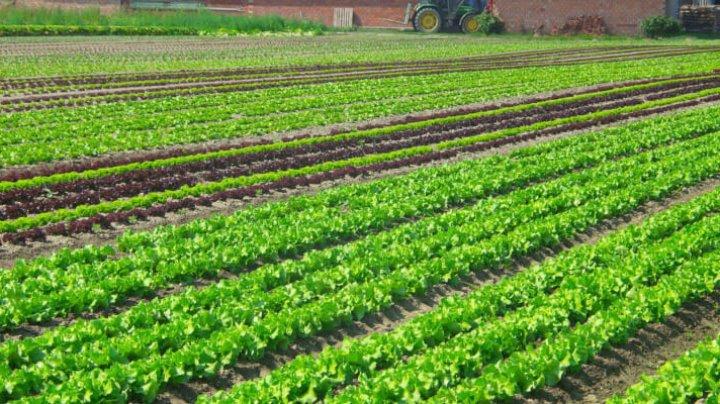 Lanurile unui agricultor din raionul Anenii Noi, verzi în plină toamnă. Ultima recoltă o va strânge la sfârşit de noiembrie