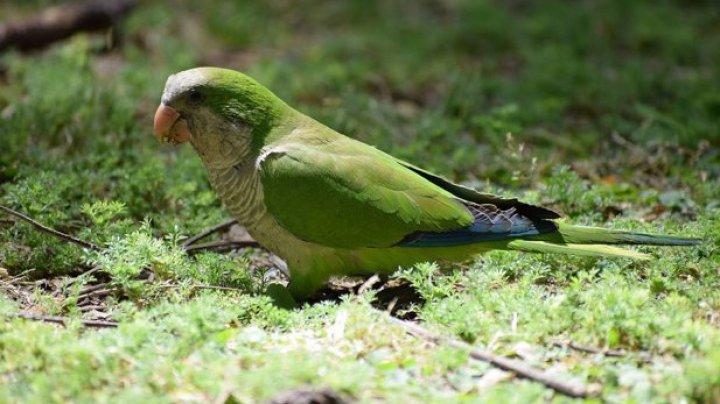 Spaniolii vor să reducă numărul de papagali călugăr