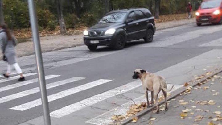 Patrupedul grijuliu. Un maidanez ajută copiii şi maturii să traverseze strada