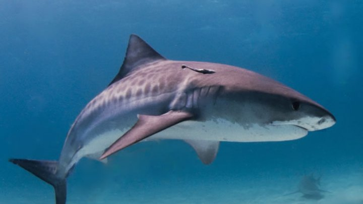 CAPTURĂ RECORD la pescuit. Un băiat de 8 ani a prins un rechin-tigru de 314 de kilograme