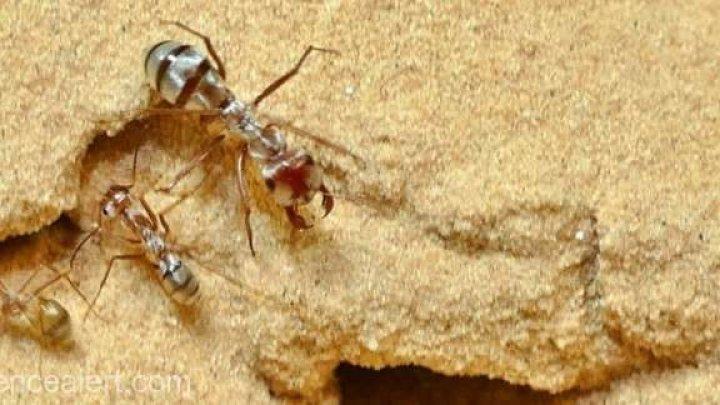 Cea mai rapidă furnică din lume trăieşte în Sahara. Ce viteză a reuşit să atingă