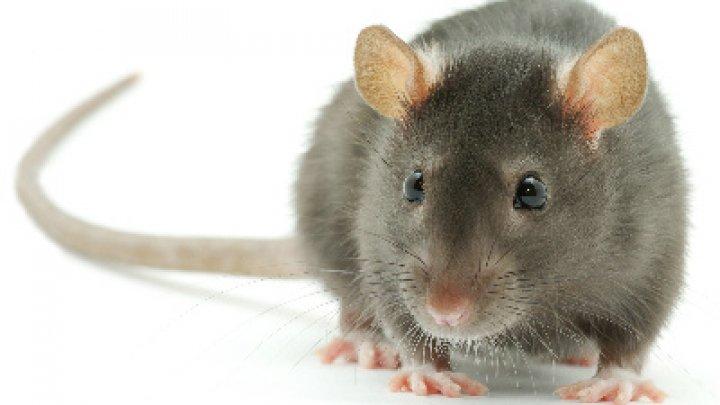 Poliţia a făcut o descoperire şocantă. O femeie  trăia într-o dubiță cu 320 de șobolani (VIDEO)