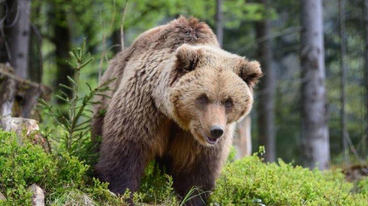 Gest inuman! Un urs rănit într-un accident rutier în Harghita a fost eutanasiat după mai bine de 20 de ore de agonie