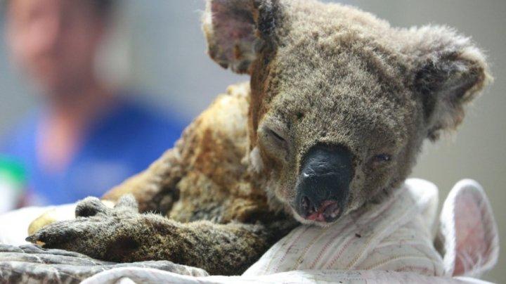 A murit puiul de koala salvat din flăcări de o femeie, în Australia