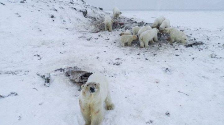 Zeci de urși polari au coborât într-un sat din Rusia (VIDEO)