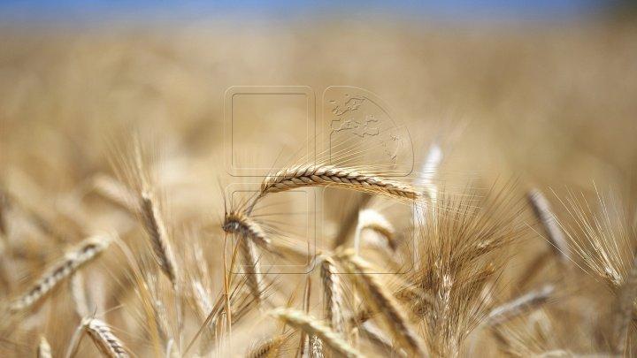 Bloomberg: La nivel global există prea mult grâu. Stocurile mondiale ar urma să ajungă, în acest an, la un nivel record