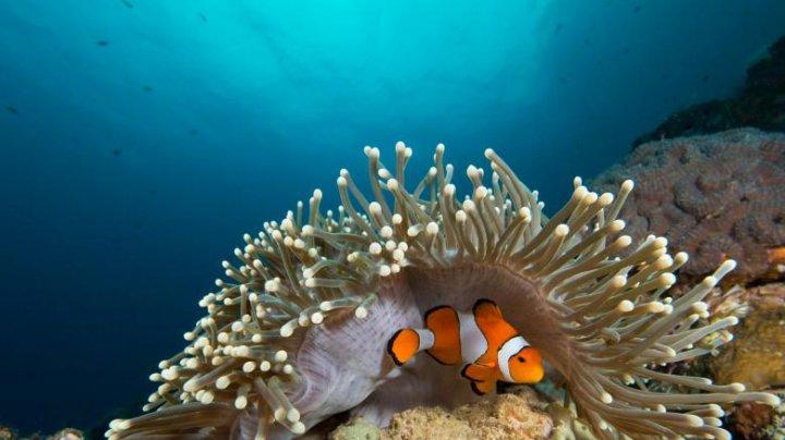 Nemo, pe cale să dispară din nou. Cum sunt afectaţi peştii-clovn de schimbările climatice