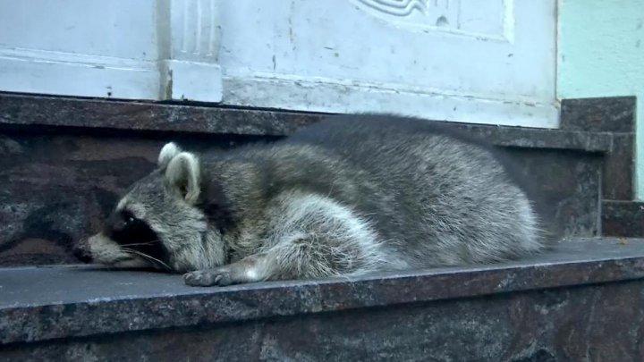 POVESTEA cu final trist a unui RATON BEAT, prins într-un Târg de Crăciun din Germania