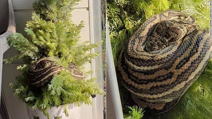 A rămas fără cuvinte. O femeie a găsit un şarpe ascuns printre ornamentele din bradul de Crăciun
