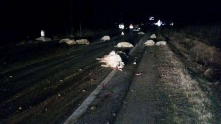 Imagini sfâşietoare! O turmă de oi, lovită în plin pe drum