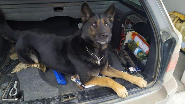 Sute de pachete de ţigări, descoperite de câinele Poliției de Frontieră Maia