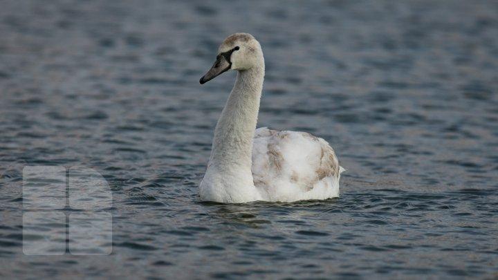 """În plină iarnă, o lebădă s-a stabilit pe lacul """"Valea Morilor"""" din Capitală (FOTOREPORT)"""