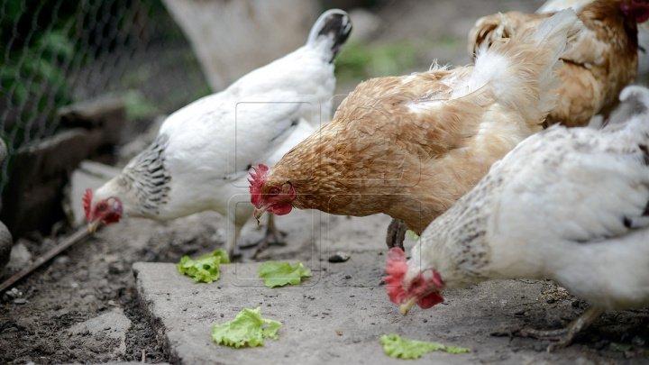 Belarus a interzis importul de carne de pasăre din Ucraina, din cauza gripei aviare
