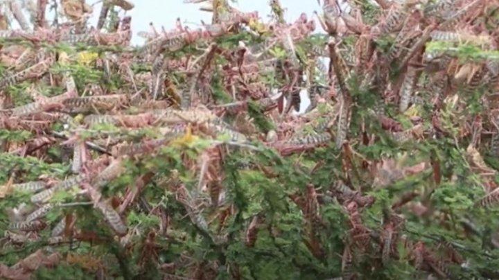 Roiuri uriașe de lăcuste distrug recoltele și vegetația din Kenia şi Etiopia (VIDEO)