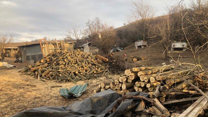 Peste 270 de arbori de salcâm, tăiați ilicit în Ialoveni. Lemnele, găsite la o stână (FOTO)
