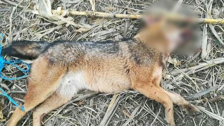 INVAZIE DE ŞACALI în satul Cot. Mai mulţi câini au fost omorâţi. Oamenii trăiesc cu frica în sân (IMAGINI ŞOCANTE)