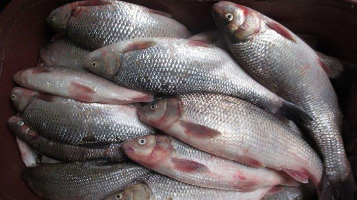 Autorităţile au oferit detalii despre peştele inclus în Cartea Roşie, depistat în Piaţa Centrală: Prejudiciul se ridică la 22 de mii de lei