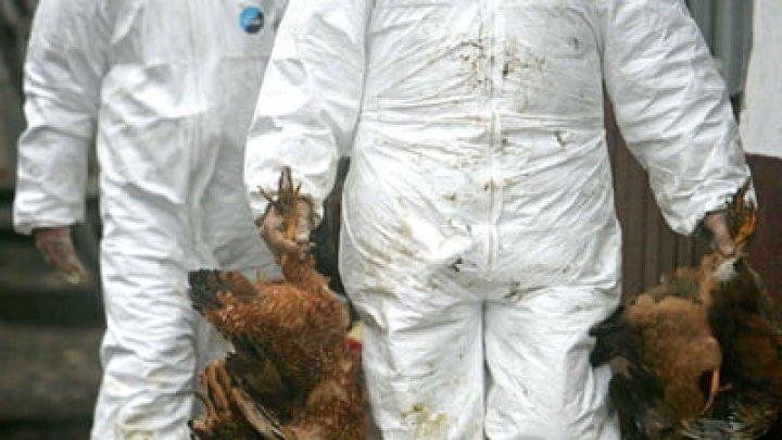 Un nou caz de gripă aviară descoperit în județul Maramureş. 22 de mii de păsări sacrificate